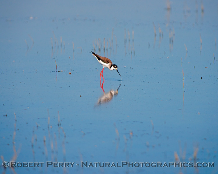 Himantopus mexicanus Black-necked stilt 2018 02-03 Yolo & ByPass--017