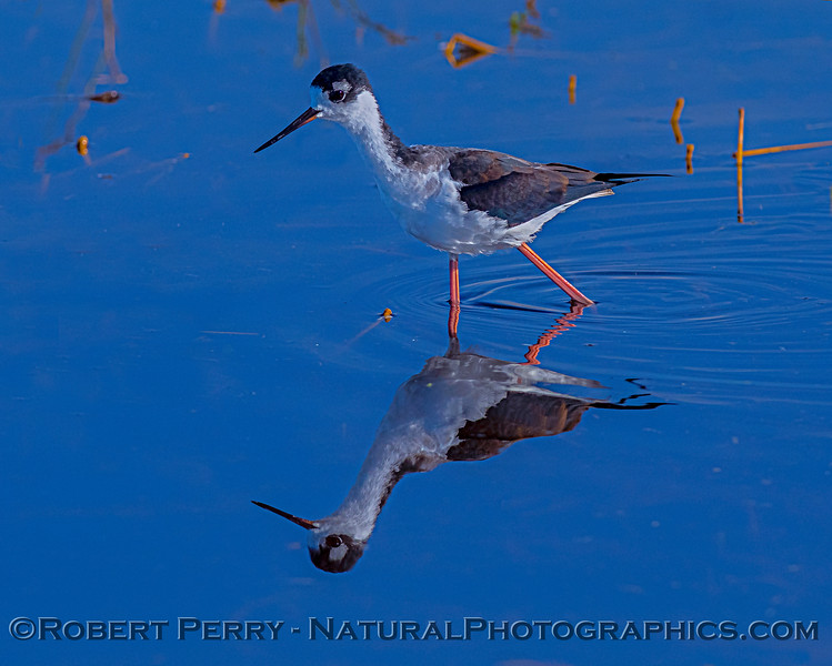 Himantopus mexicanus Black-necked stilt 2018 10-31 Merced NWR-b-072
