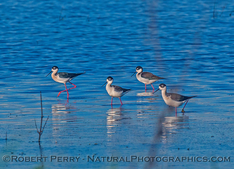 Himantopus mexicanus black-necked stilt 2016 12-16 Cosumnes River Preserve-042
