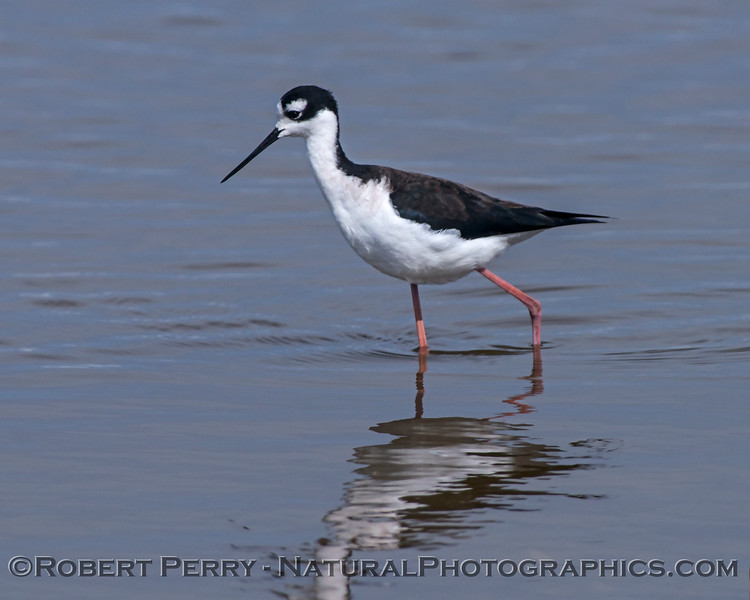 Himantopus mexicanus Black-necked stilt in water 2018 03-08 Sac NWR-039