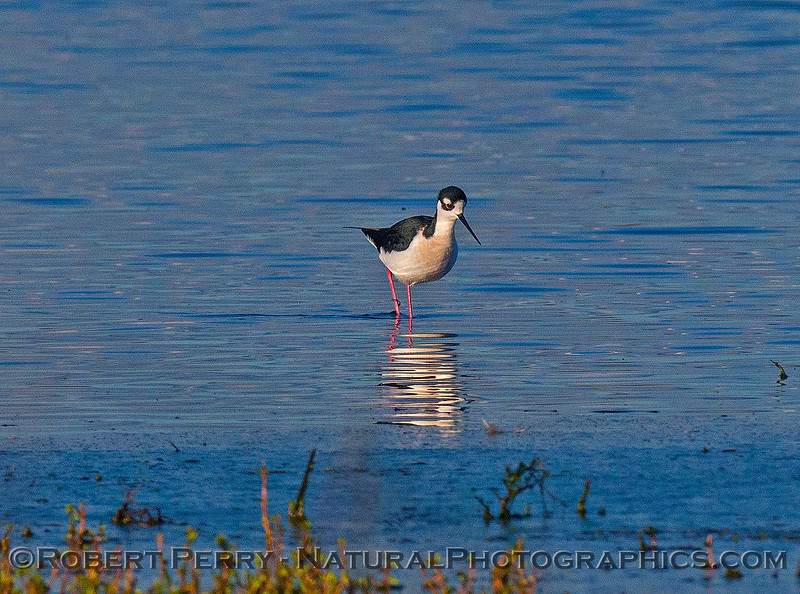 Himantopus mexicanus black-necked stilt 2016 12-16 Cosumnes River Preserve-068