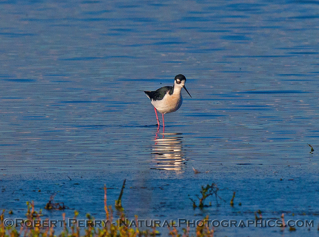 Himantopus mexicanus black-necked stilt 2016 12-16 Cosumnes River Preserve-068