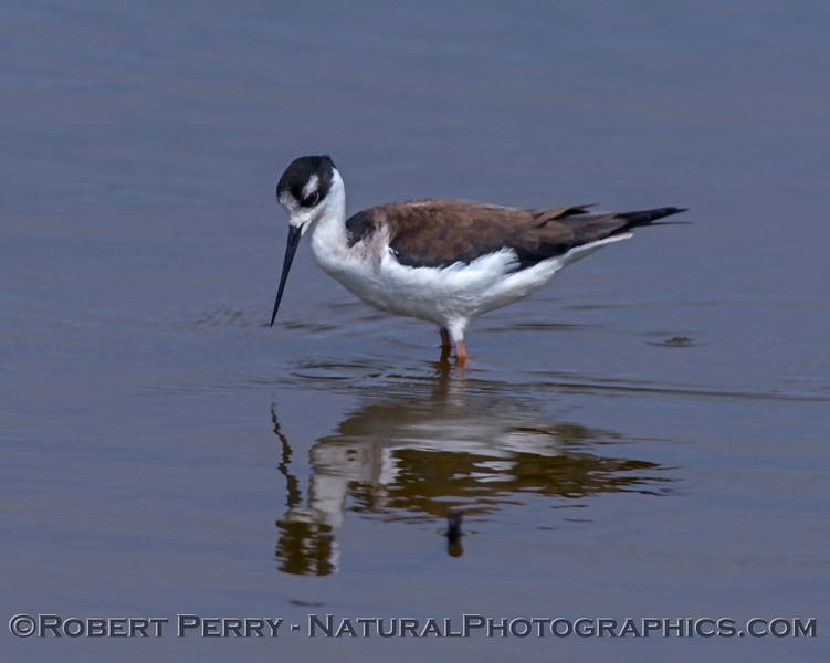 Himantopus mexicanus Black-necked stilt in water 2018 03-08 Sac NWR-029