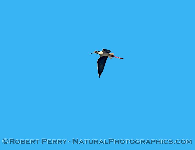Himantopus mexicanus Black-necked stilt in flight 2021 05-15 Grizzly Island--038