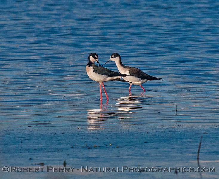 Himantopus mexicanus black-necked stilt 2016 12-16 Cosumnes River Preserve-056