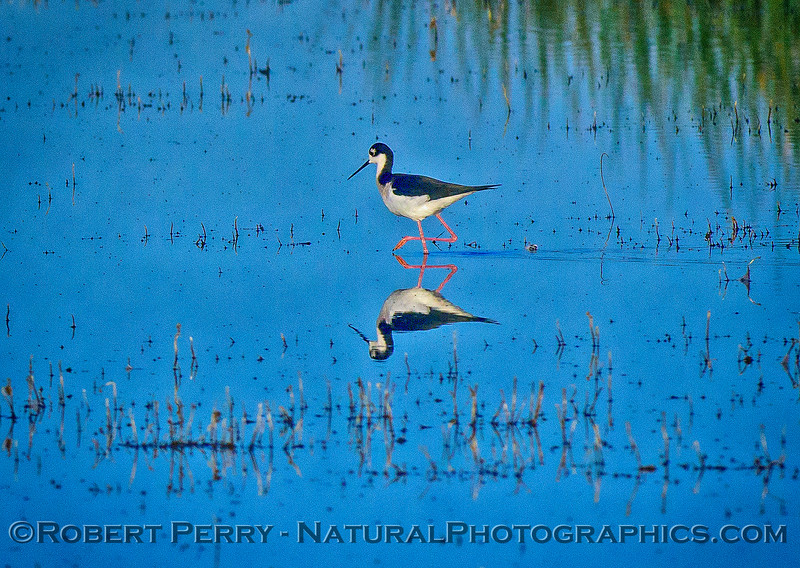 Himantopus mexicanus Black-necked stilts 2017 12-10 Yolo ByPass-015