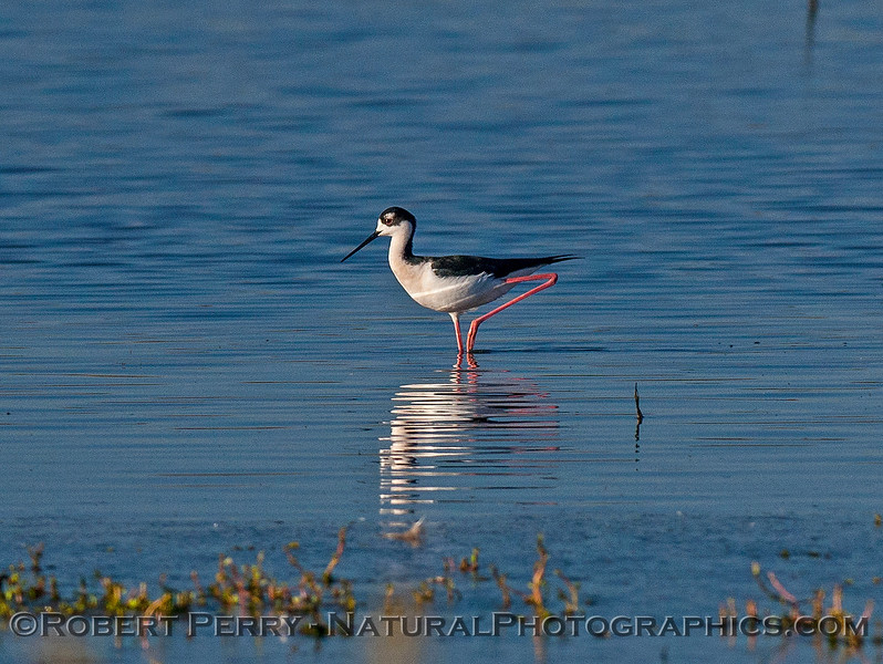 Himantopus mexicanus black-necked stilt 2016 12-16 Cosumnes River Preserve-089