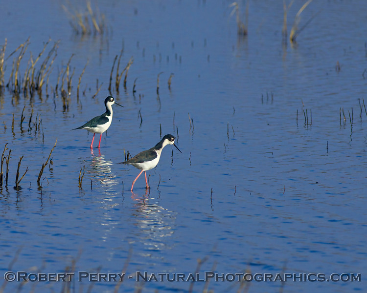 Himantopus mexicanus Black-necked stilt TWO 2018 01-11 Yolo ByPass--005