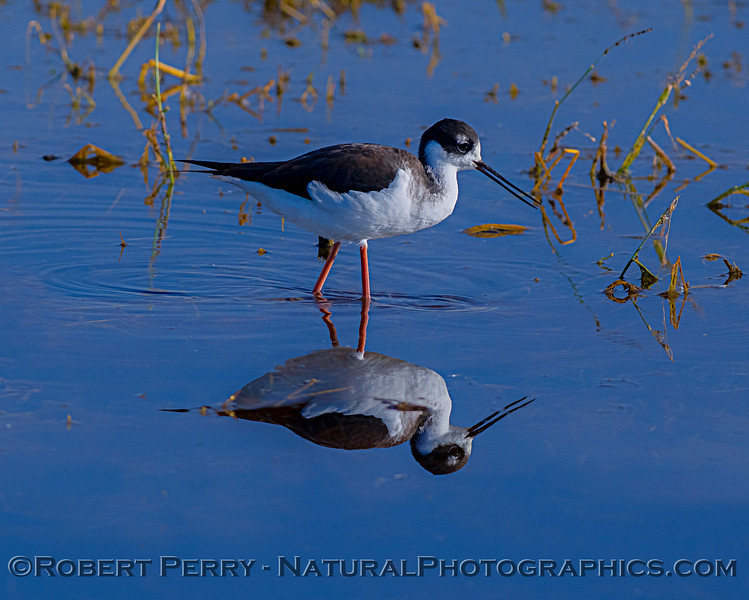 Himantopus mexicanus Black-necked stilt 2018 10-31 Merced NWR-b-057