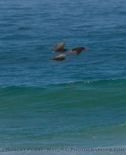 Three oyster-catchers fly by Zuma Beach.