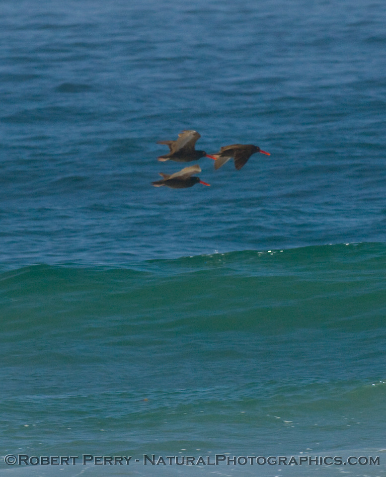 Three oyster-catchers fly by Zuma Beach.