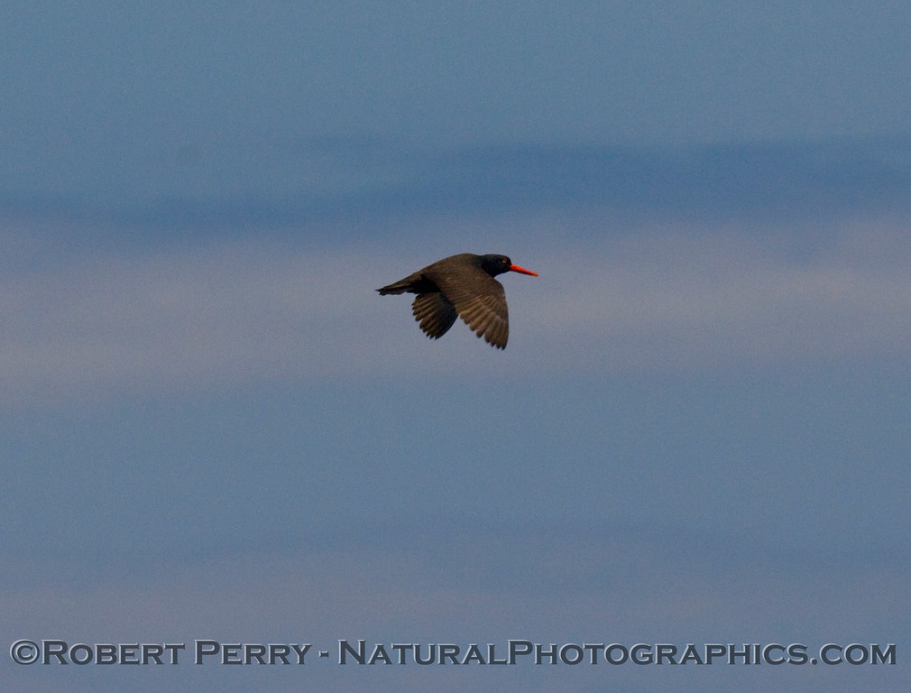 Oyster-catcher in flight.
