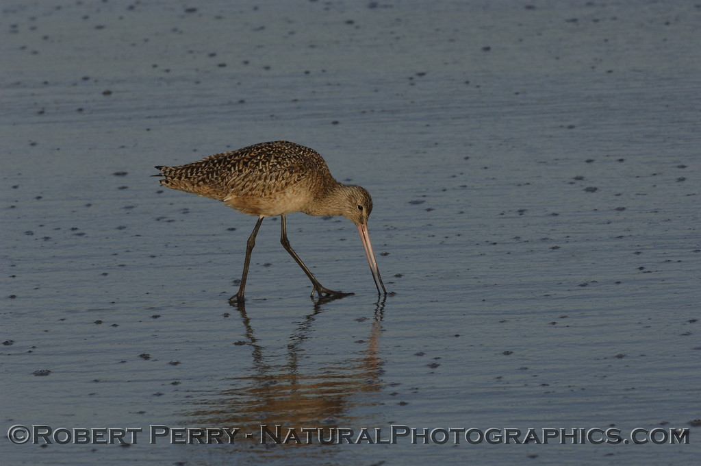 Marbled Godwit feeding at dawn.