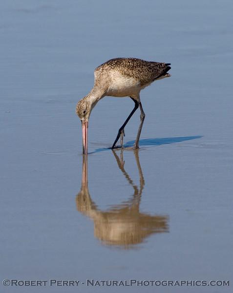 Marbled Godwit on mirror sand.