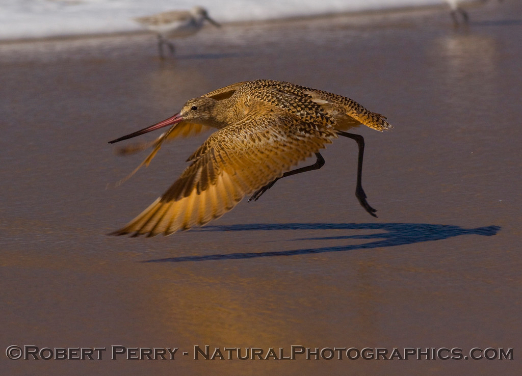 Marbled take-off on wet sand; Zuma Beach.