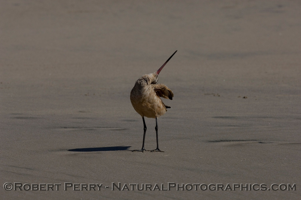 Marbled Godwit yoga - - cleaning its head.