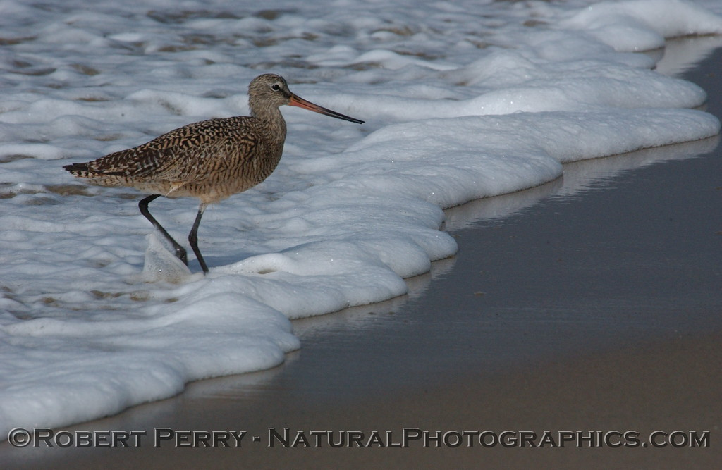 The foamy edge of a breaker mirrored on wet sand, as a Godwit walks ashore.