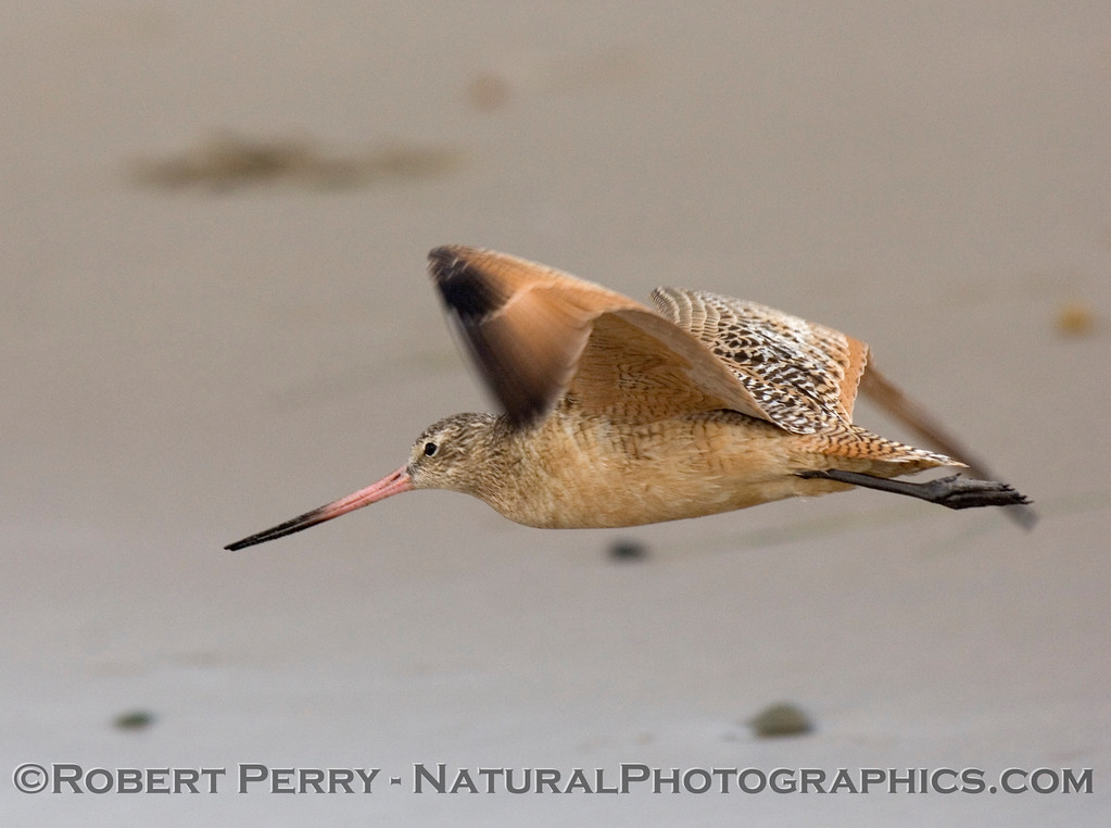 Marbled Godwit in flight.