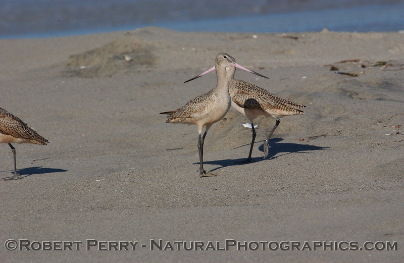 Looks like a Marbled Godwit with two beaks.