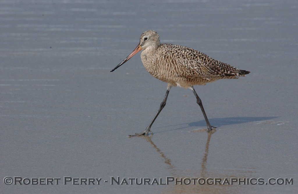 Marbled Godwit out for a walk on a sunny day.