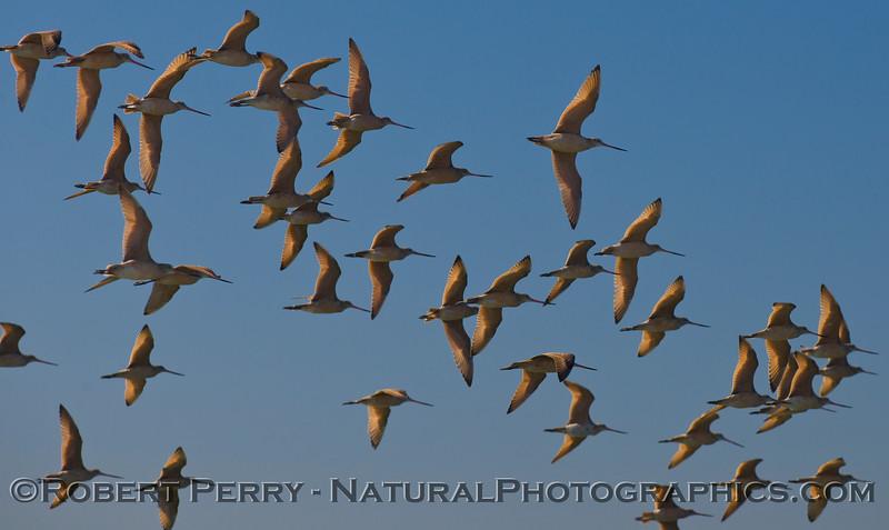 Limosa fedoa big flock in flight 2011 10-13 Zuma - 009