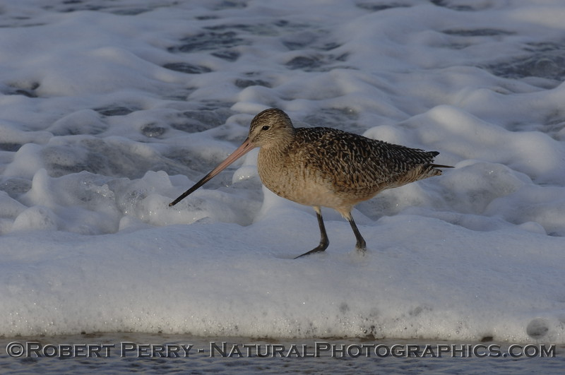 Marbled Godwit wading knee high in the foam at dawn.