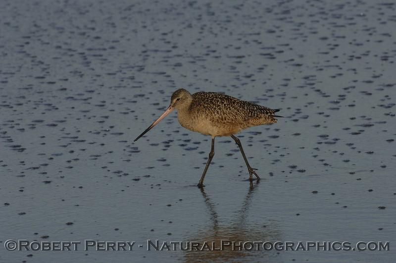 Marbled Godwit walking on sparkled sand.