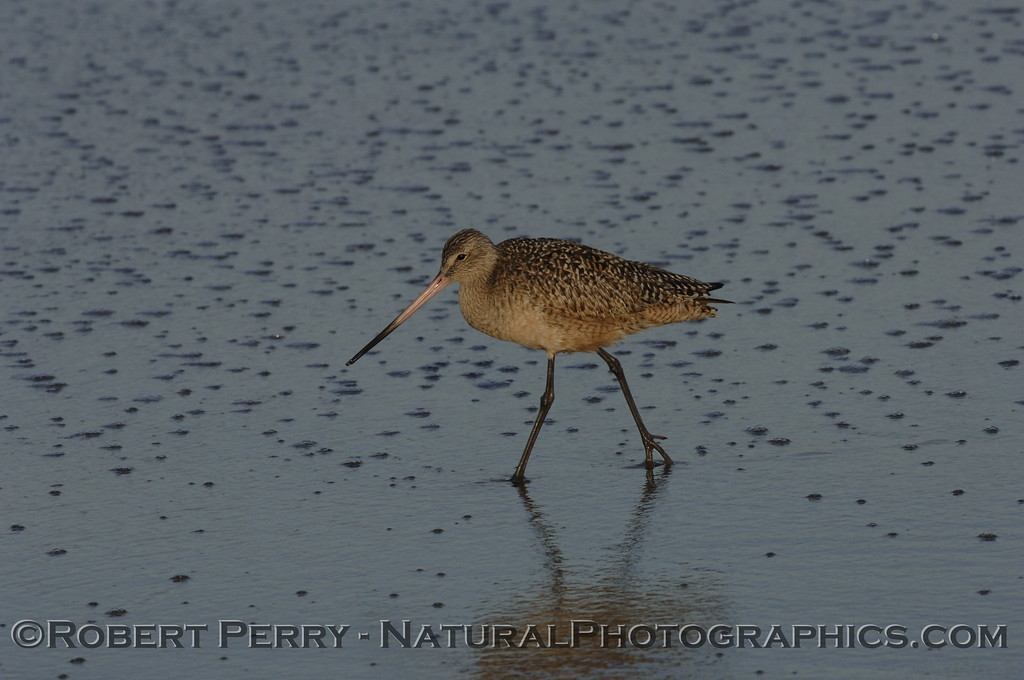 Marbled Godwit walking on sparkled sand.