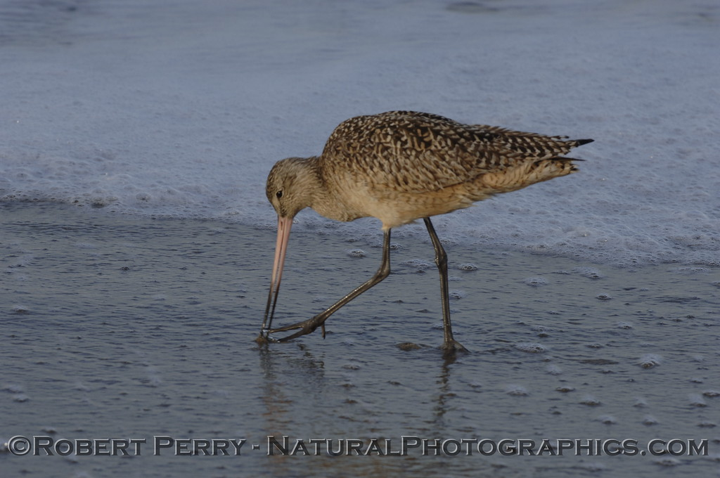 Marbled Godwit feeding.