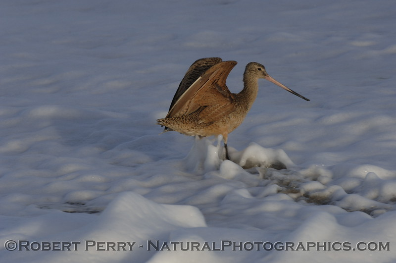 Marbled Godwit wading in the foam at dawn.