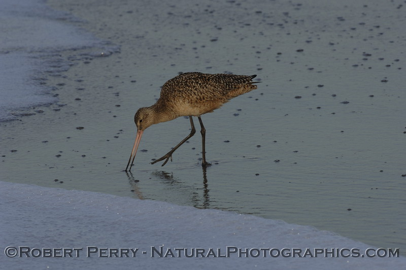 Marbled Godwit feeding at the water's edge.