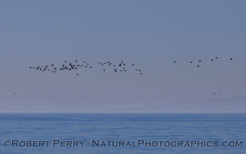 Limosa fedoa big flock in flight 2011 10-13 Zuma - 003