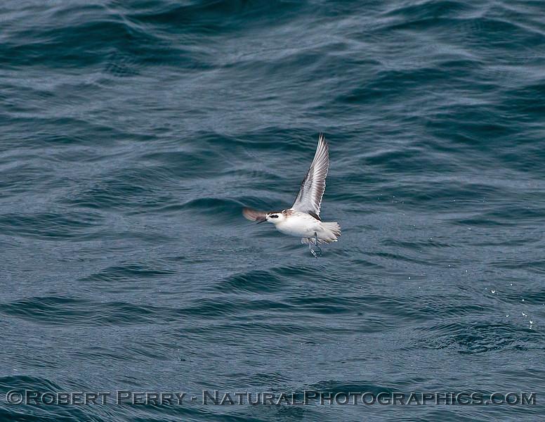 Phalaropus lobatus 2016 08-02 SB Channel-005