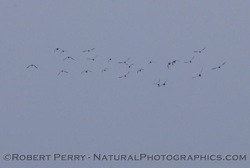 Phalaropus lobatus flock in flight 2009 05-16 So Cal Bight b - 128