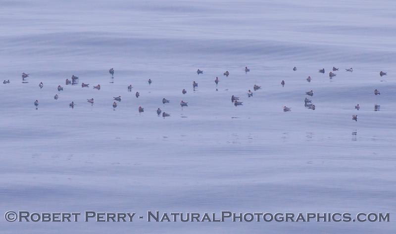 Phalaropus lobatus flock on water 2012 05-20 SB Channel-022