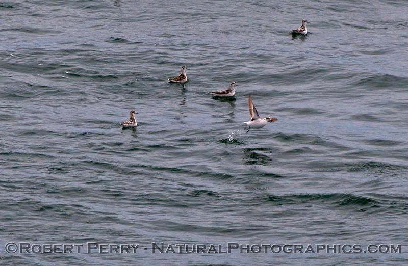 Phalaropus lobatus flock on water 2009 08-20 SB Channel x - 002