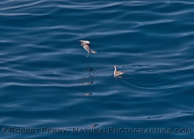 Phalaropus lobatus on water 2015 08-24 SB Channel-001