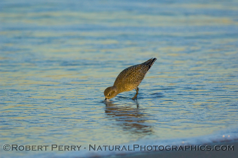 Black-bellied Plover (Pluvialis squatarola)feeding in wave wash.