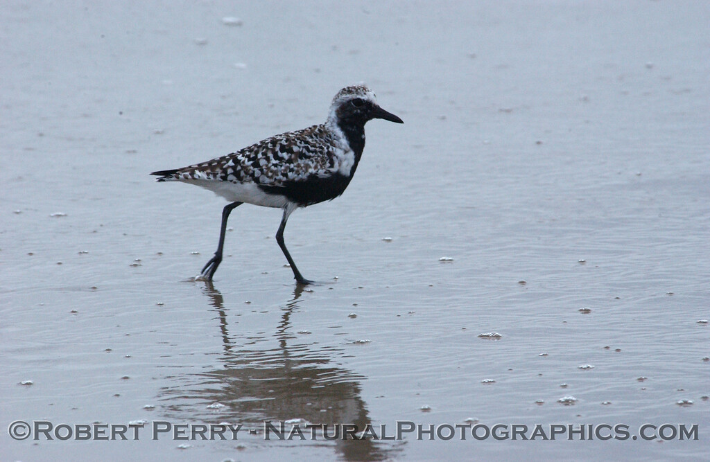 Black-bellied Plover (Pluvialis squatarola) with black belly in the Spring.