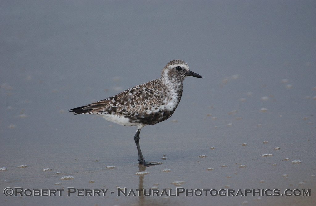 Side view, Black-bellied Plover (Pluvialis squatarola) showing black feathers just filling in during the Spring.