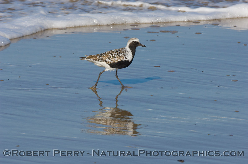 Black-bellied Plover (Pluvialis squatarola) with distinct black belly, on wet beach sand, Spring.