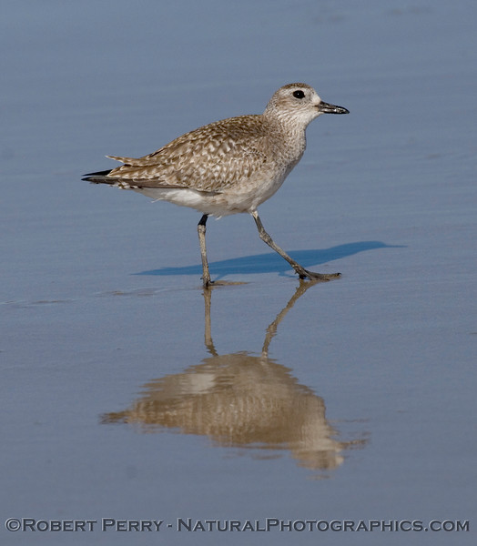 Black-bellied Plover (Pluvialis squatarola)looking up.