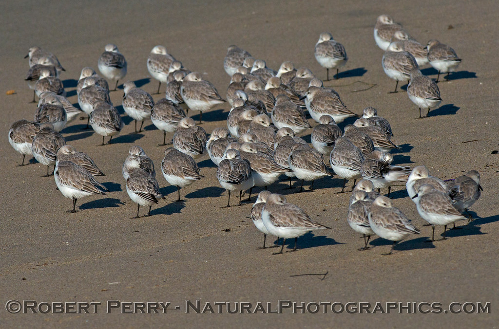 Calidris alba huddling on sand 2013 01-10 Zuma-002