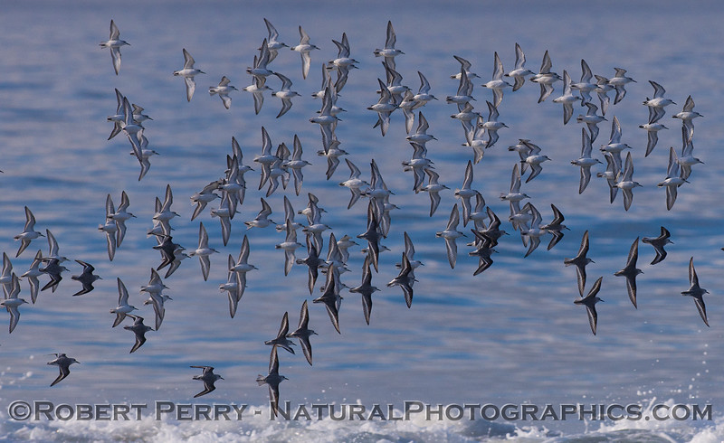 Calidris alba flock in flight 2011 11-03 Zuma - 014