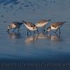 Calidris alba 4 on wet sand 2012 02-09 Zuma-023
