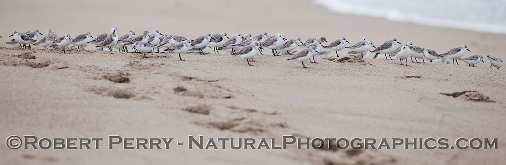 Calidris alba wide strip2012 03-15 Zuma -003