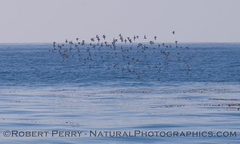 Calidris alba flock in flight 2011 10-27 Zuma - 099