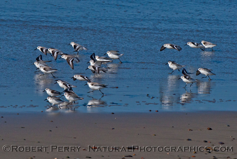 Calidris alba flock on wet sand 2014 02-20 Zuma--007