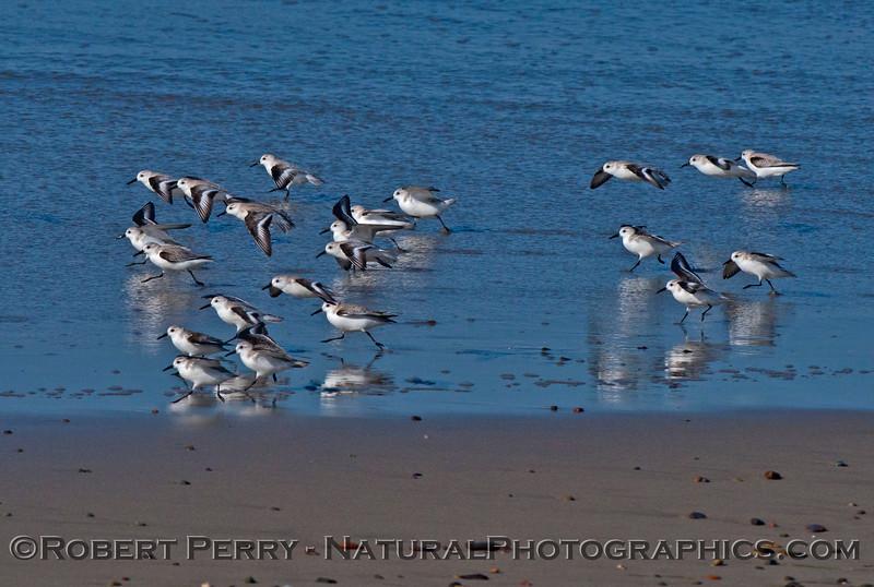 Calidris alba flock on wet sand 2014 02-20 Zuma--007