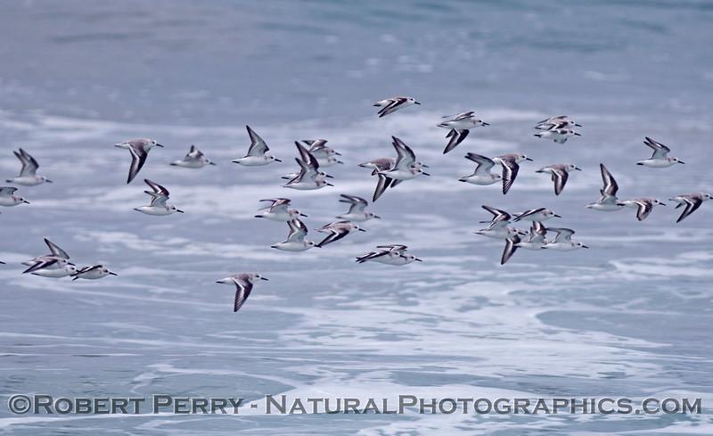 Calidris alba flock in flight 2012 11-01 Zuma-011
